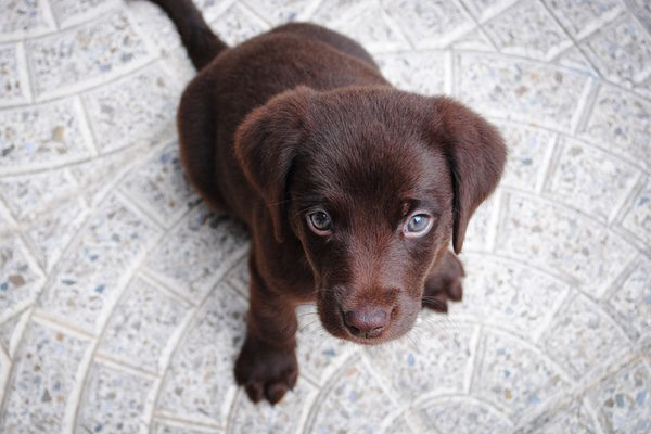 Image of cute puppy used to demonstrate Divi animations